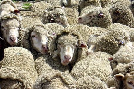 Traerán ovejas a Ecuador desde Chile