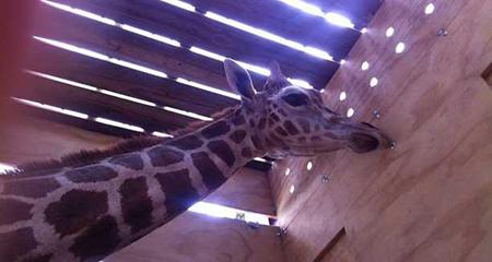 Mas de 250 mil dólares habría costado traer una pareja de jirafas a Loja